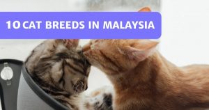 Read more about the article 10 Common Cat Breeds In Malaysia – Popular Picks!